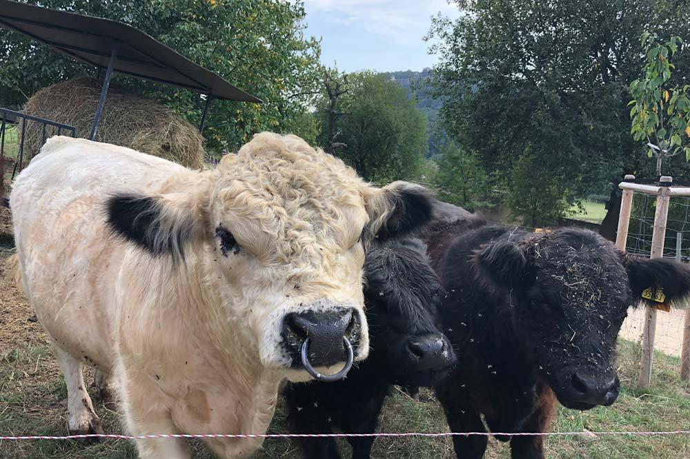 Rinder Weide mit Blick auf die Festung Königstein