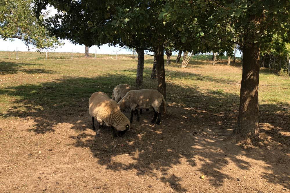 Schafe unter Bäumen