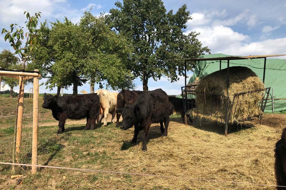 Urlaub auf dem Bauernhof mit Rindern